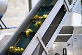 Grapes being transported at the Dirk Niepoort wine estate in the Douro Valley in Vale de Mendiz, Portugal