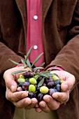 Hände präsentieren frisch geerntete Oliven