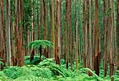Tree ferns,Dicksonia antarctica