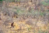 Bushman hunting,Kalahari,Botswana
