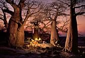 Camp among baobabs,Adansonia digitata