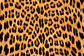 Leopard skin,Panthera pardus,Botswana