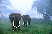 African elephants in mist,Tanzania