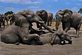 African elephants bulls playing,Botswana