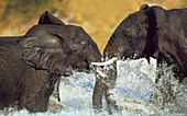 African elephants sparring,Botswana