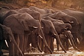 African elephants drinking,Botswana