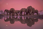 African elephants at twilight,Botswana