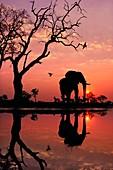 African elephant at dawn,Chobe Botswana