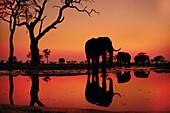 African elephants at dawn,Chobe Botswana