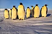 Emperor penguins,Weddell Sea,Antarctica
