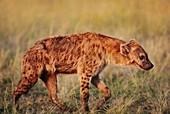Spotted hyena,Crocuta crocuta,Kenya