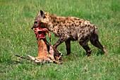 Spotted hyena with gazelle kill,Kenya