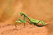 Praying mantis,Botswana