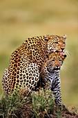 Leopard licking cub,Panthera pardus