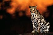 Leopard at dusk,Panthera pardus,Kenya