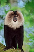 Lion-tailed macaque,Macaca silenus