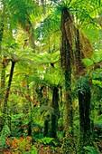 Tree ferns in forest,Cyathea smithii