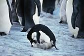 Adelie penguin raping penguin chick
