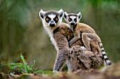 Ring-tailed lemur with baby,Lemur catta