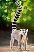 Ring-tailed lemur,Lemur catta