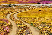 Wild Flowers,Goegap Nature Reserve
