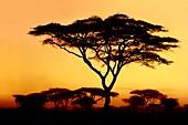 Acacia sunset,Acacia drepanolobium