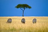 Zebras grazing,Masai Mara Reserve,Kenya