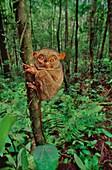 A Western tarsier,Tarsius,Borneo
