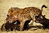 Spotted hyena mother with pups,Kenya