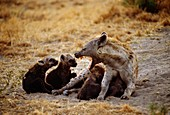 Spotted hyena mother with pups,Botswana