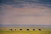 African elephants,Masai Mara,Kenya