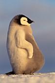 Aptenodytes Forsteri,Emperor Penguin