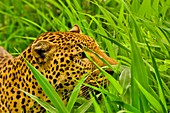 Leopard peering through grass,Senegal