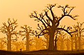 Baobab grove,Senegal