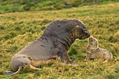Hooker's sea lion bull and pup
