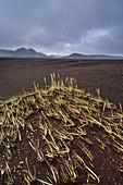Vegetation grass in volcanic ash,Iceland