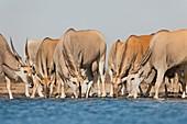 Elands,Etosha,Namibia