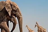 Elephants and giraffes,Etosha,Namibia
