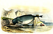 Beached sperm whale,19th century