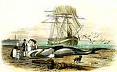 Beached great white shark,19th century