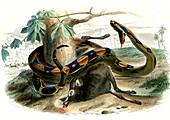 Boa constrictor,19th century
