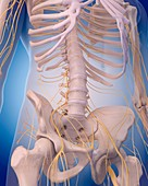 Nervous system of abdomen