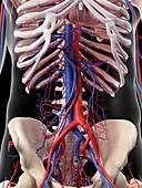 Vascular system of human abdomen
