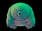 Water bear (Tardigrade)
