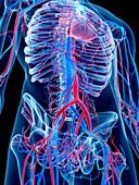 Vascular system of abdomen