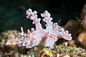 Miamira nudibranch