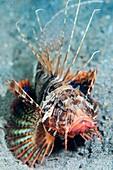 A gurnard lionfish