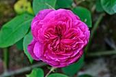 Rose (Rosa 'Gertrude Jekyll')