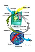 Cellular respiration,plants and animals