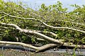 Newly laid hawthorn hedge